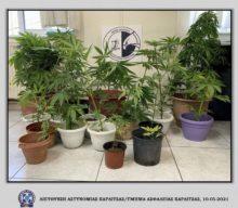 Συνελήφθη Καρδιτσιώτης που καλλιεργούσε δενδρύλλια κάνναβης